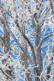 Hoarfrost covered branches Stock Photography