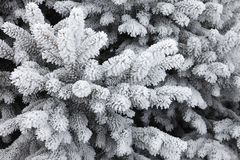 Hoarfrost covered fir tree. Branches of a fir tree completely covered in hoarfrost Stock Photo