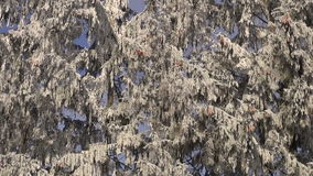 Hoarfrost covered fir trees. On sunny winter day against cloudy blue sky stock video