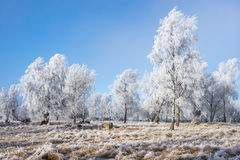 Hoarfrost covered grove Royalty Free Stock Images