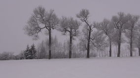 Hoarfrost covered old trees. On misty overcast winter evening stock video