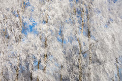 Hoarfrost covered spruce tree Stock Images