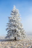 Hoarfrost covered spruce tree Royalty Free Stock Photo