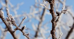Hoarfrost Covered Trees Brunches. Hoarfrost on a branch in the forest stock video footage