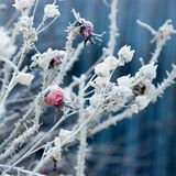 Hoarfrost on the dogrose stock photos