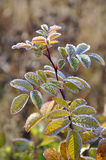 Hoarfrost on a dogrose branch Royalty Free Stock Image