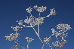 Hoarfrost on dried plant Royalty Free Stock Images