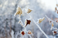 Hoarfrost on dry leaves Royalty Free Stock Photography
