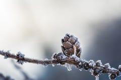 Hoarfrost on the fir cone. Macro image Stock Photos