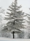 Hoarfrost Fir Tree. Evergreen along Ottawa River with frost from winter fog Stock Photos