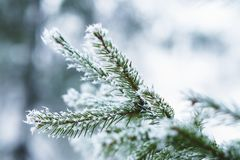 Hoarfrost on fir tree leaves in snowing in winter garden. Frozen spruce with snow flakes background.  royalty free stock images