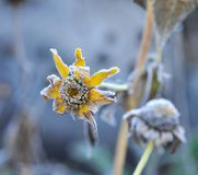 Hoarfrost on a flower Royalty Free Stock Photo