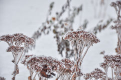 Hoarfrost on the flowers in winter field Stock Photo