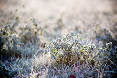 Hoarfrost on grass Stock Photography