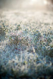 Hoarfrost on grass Stock Image