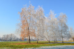 Hoarfrost, grass and birch hirst. Near river covered by morning hoarfrost stock images