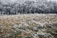 Hoarfrost on a grass, blowing wind. Stock Photography
