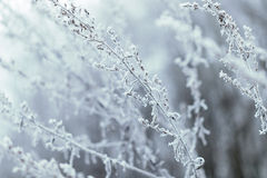 Hoarfrost on grass. Frosted grass at cold winter day Stock Image
