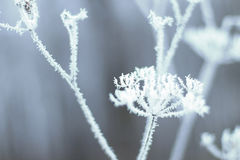 Hoarfrost on grass. Frosted grass at cold winter day Stock Photography