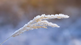 Hoarfrost on grass stalk royalty free stock photo
