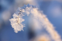 Hoarfrost grass stem Stock Photos