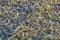 Hoarfrost, grass, and twigs royalty free stock images