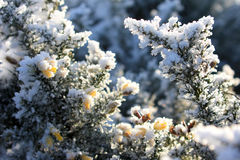 Hoarfrost has covered broom flowers Stock Photos