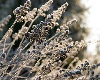 Hoarfrost on the herb royalty free stock image