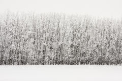Hoarfrost On Inclined Trees Royalty Free Stock Photos