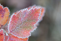 Hoarfrost Leaf Stock Images