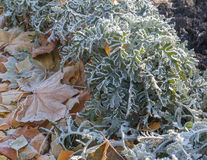 Hoarfrost on leaves Stock Images