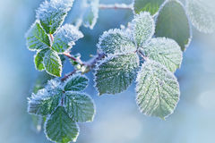 Hoarfrost on the leaves Stock Images