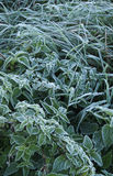 Hoarfrost on the leaves of nettle and sedge grass. Royalty Free Stock Photography