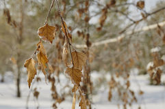 Hoarfrost on leaves Royalty Free Stock Photo