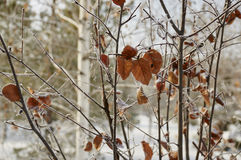 Hoarfrost on leaves. Rime on the leaves of a tree in a city park Stock Images