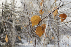 Hoarfrost on leaves. Rime on the leaves of a tree in a city park Stock Image