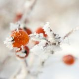 Hoarfrost on leaves Royalty Free Stock Photography
