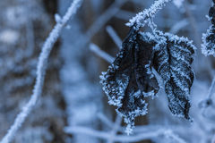 Hoarfrost leaves Royalty Free Stock Photo