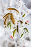 Hoarfrost on leaves Royalty Free Stock Photos