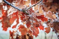 Hoarfrost on leaves Stock Photos