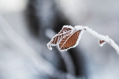 Hoarfrost on the leaves in winter forest. Stock Image