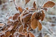 Hoarfrost na bukowym drzewie fotografia stock