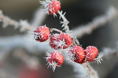 Hoarfrost na Czerwonych jagodach Fotografia Royalty Free