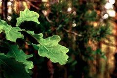 Hoarfrost na dębów liściach na gałąź Zima abstrakt makro- obraz royalty free