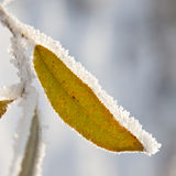 Hoarfrost na liściach obraz royalty free