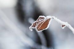 Hoarfrost na liściach w zima lesie Obraz Stock