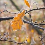 Hoarfrost na liściach Zdjęcia Royalty Free