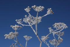 Hoarfrost na planta secada Imagens de Stock Royalty Free