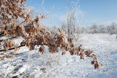 Hoarfrost na suchych dębowych liściach Zdjęcia Royalty Free