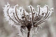 Hoarfrost oder weicher Raureif auf Anlagen an einem Wintertag Stockfoto